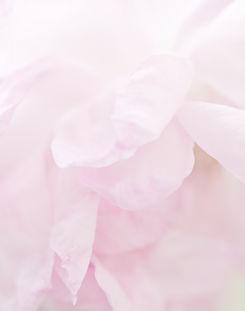 バラの花びらの背景.jpg