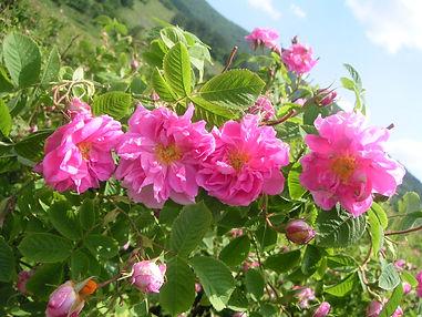 Roses 098.jpg