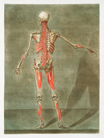 In this illustration done for the Royal College of Medicine in France, engraver Arnauld Dagoty (1741-1771) elegantly depicts, with precise details, the muscles of the human body in the perception of scientists from the 18th century, offering a glimpse upon the beginnings of modern medicine.