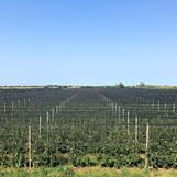 Slika voćnjaka