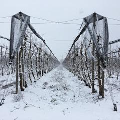 Voćnjak u zimi