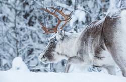 Reindeer in Swedish Lapland