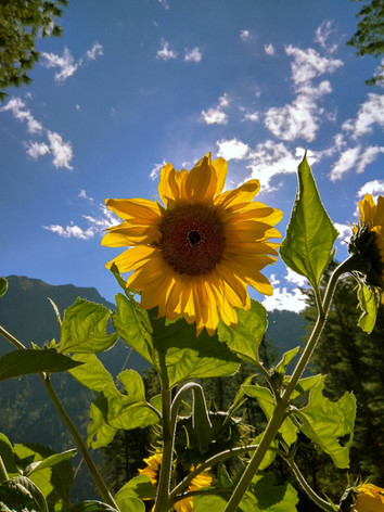 Sunflowewr.jpg