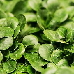lettuce v1.png