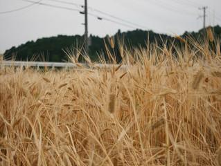 二条大麦の収穫