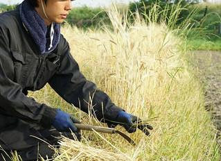 大麦の収穫