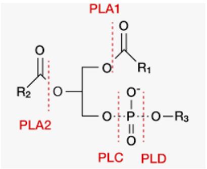 phospholypase.PNG