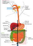 digestive system.png