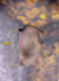 Ūdeņu naktssikspārnis (Myotis daubentonii)