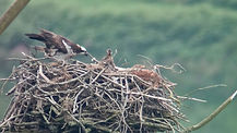 Female_osprey_with_chicks,_Cors_Dyfi_nat