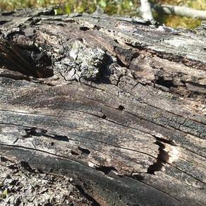 L'albero degli Arborea amico delle api