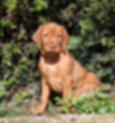 Wirehaired Vizsla, England, HPR