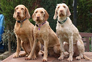 Wirehaired Vizslas England HPR