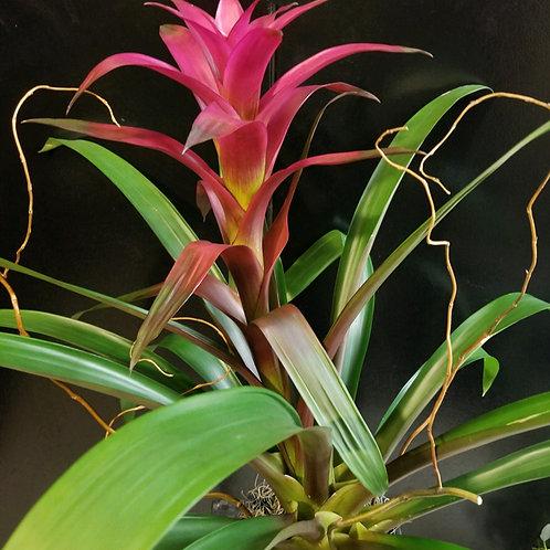Live Plant - Bromeliad