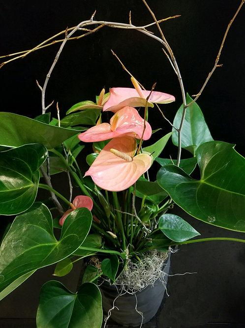 Live Plant - Anthurium