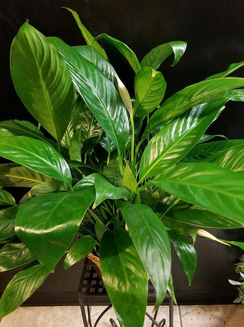 Live Plant - Spathiphyllum