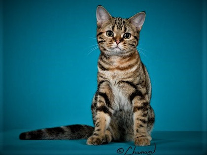 GC BiAmeriKitty Buttercup