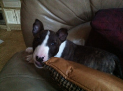 Journe - Naughty Puppy Picture Chewing on Pillow!.JPG