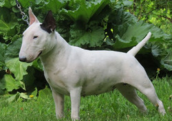 Ally - AKC Grand Champion - Amchara's One and Only.jpg