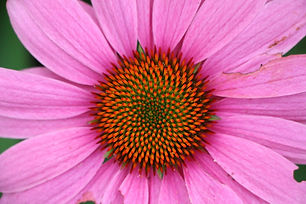 Purple-Coneflower-closeup-1400px.jpg