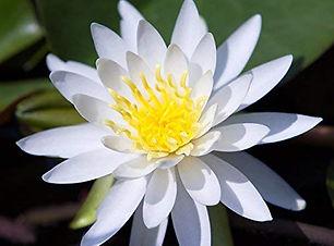 white lotus close up.jpg