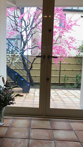 いよいよ花桃満開の季節に!