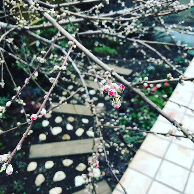 今年の花桃は早咲きになりそうです。