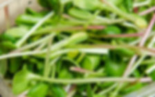 микрозелень редиса