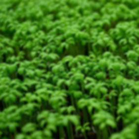 микрозелеь кресс-салат