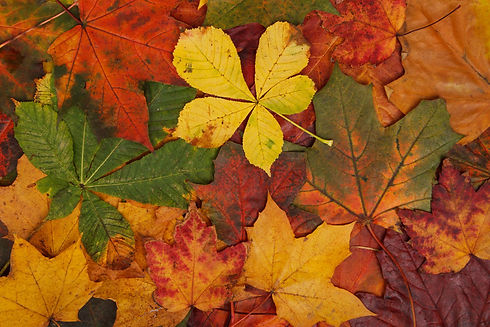colorful-autumn-leaves-871286965014L8g8.jpeg