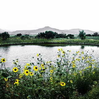 Sunflowers Below Pedernal