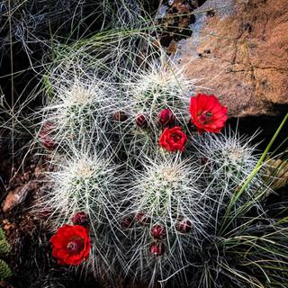 Desert Cactus Blooms