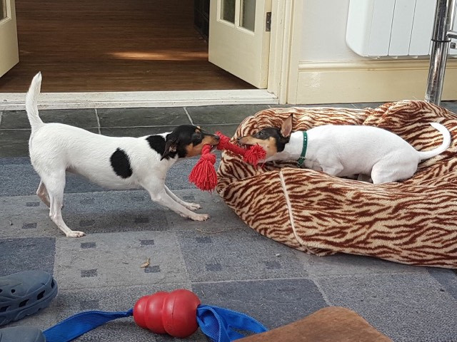 Rocky & Alice playing tug