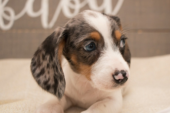 How can I register a tri-coloured/piebald or double dapple dachshund when it is not a recognised or