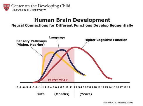 human-brain-development-harvard-1.png