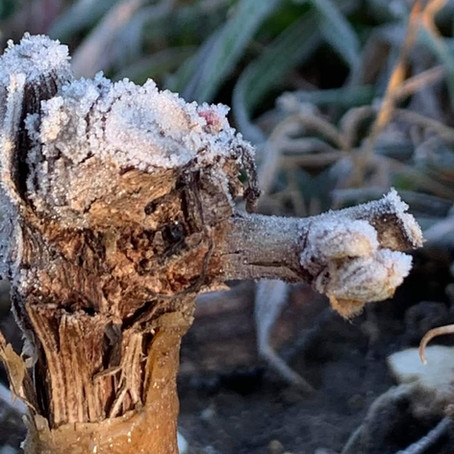 Frost in Champagne: Isabelle Tellier's Initial Assessment
