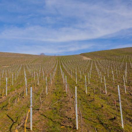 Champagne : la taille de la vigne a commencé