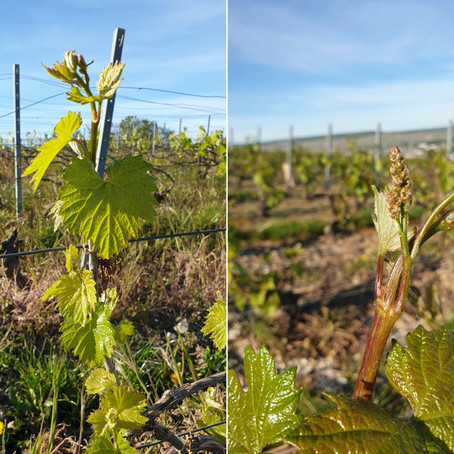 Champagne: The Grape Clusters are Starting to Appear
