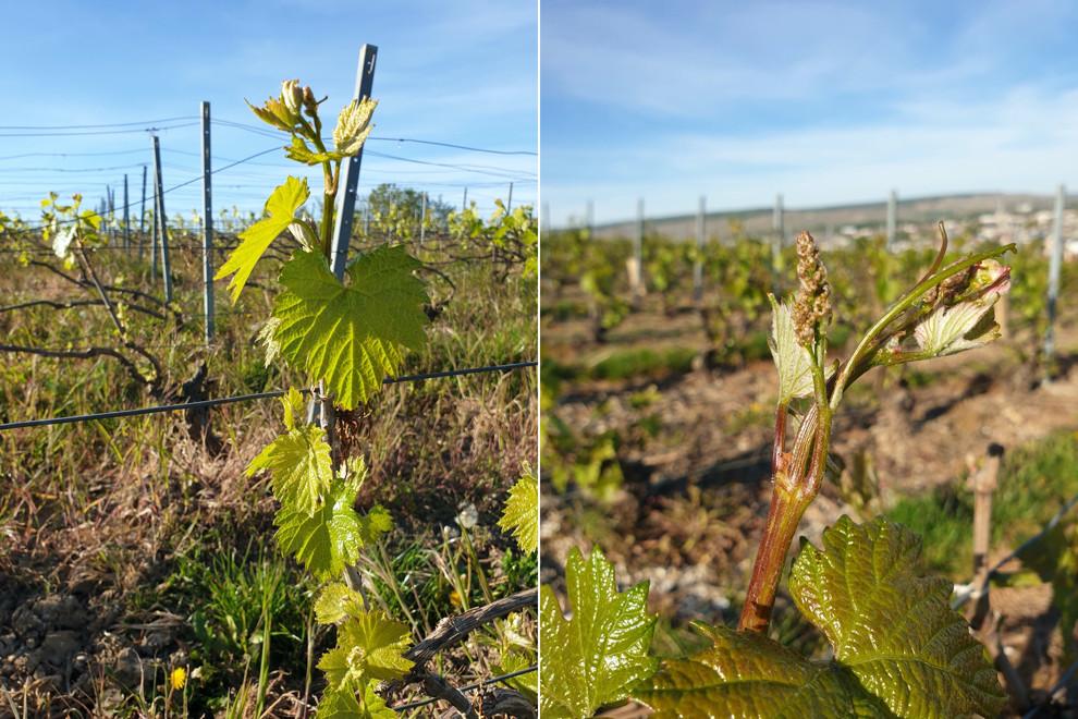 17 avril, Pinot meunier, avec ses feuilles cotonneuses d'une couleur blanche et ses bourgeons blancs à pointe rosée