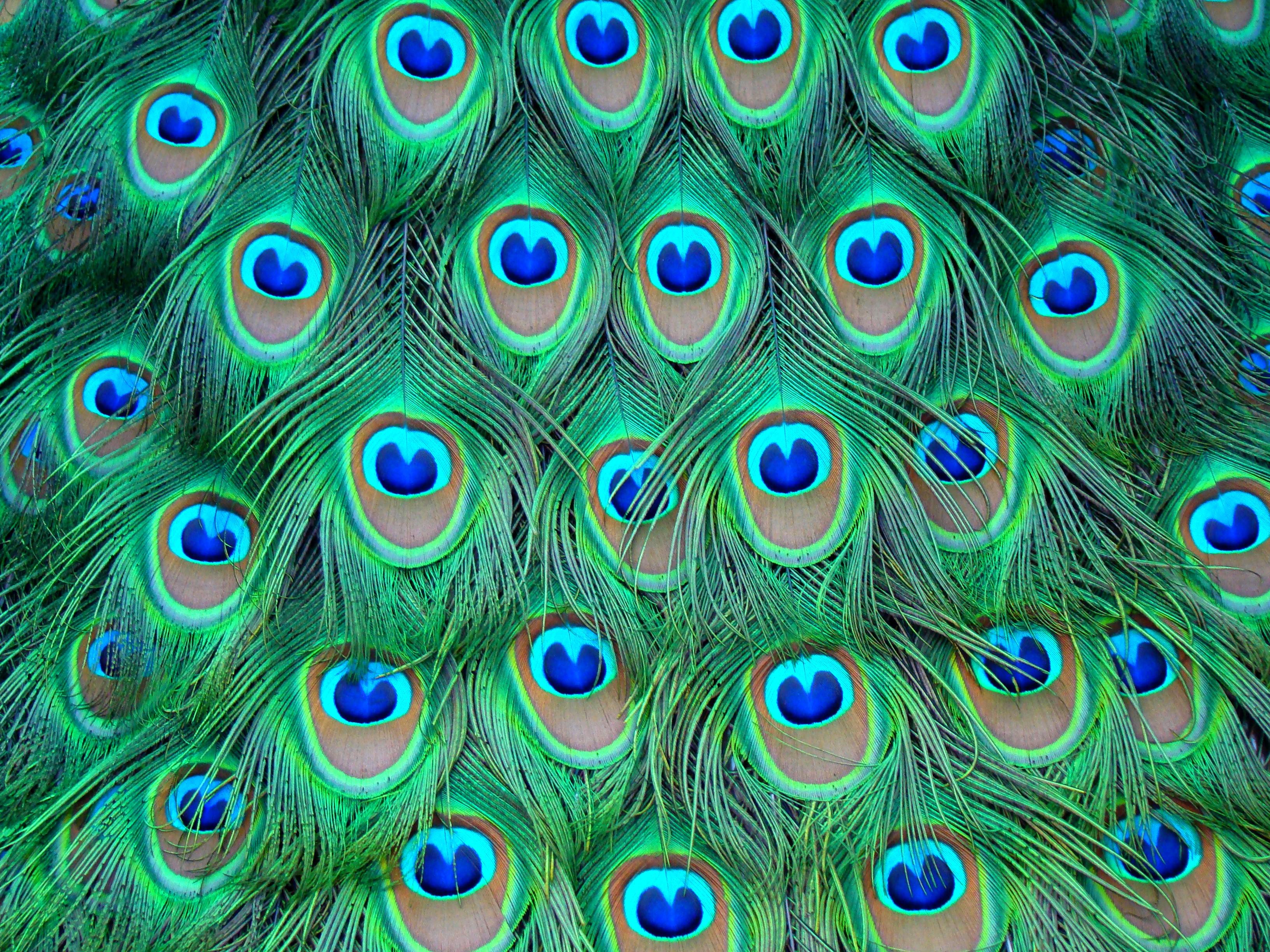 hd-desktop-wallpaper-peacock