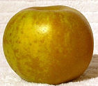 Golden_russet_apple cropped.jpg