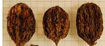 Butternut - Seedling