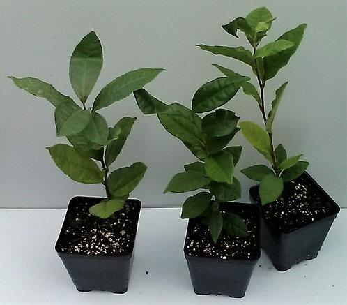 Tea - Camellia sinensis
