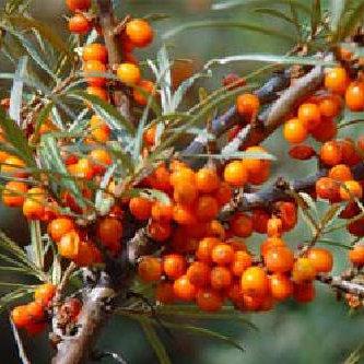 Seaberry Leikora