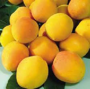 Apricot- Manchurian