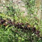 Bush Cherry-Hansens