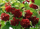 Uncommon and Unusual Bush fruits for permaculture Guilds and edible landscaping