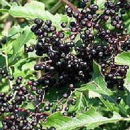 Elderberry-Eastern