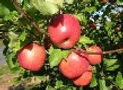 Apples for Permaculture and Edible Landscaping