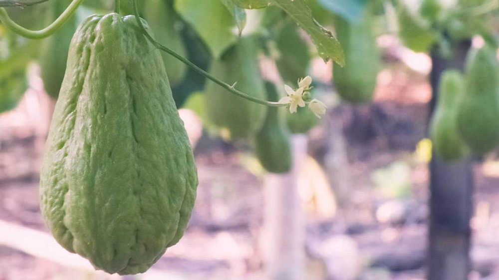 Chayote fruit hanging on chayote tree